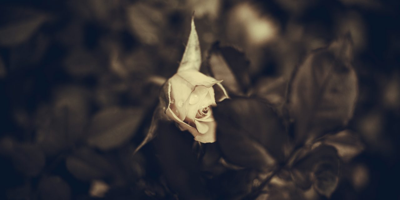 Concealed in a Rose